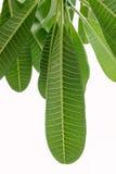 一片叶子的后面在白色背景的 免版税库存图片