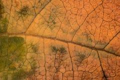 一片叶子的纹理的宏观照片在秋天 库存图片