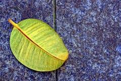 一片大下落的叶子在石路面说谎 免版税库存照片