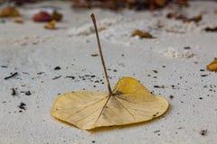 一片大叶子在卡塔普吉岛海滩,泰国沙子说谎  免版税库存照片