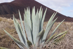 一片大蓝色龙舌兰植物岩石沙漠, Islote de罗伯斯, Canarias,西班牙 免版税库存照片