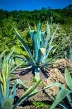 一片大蓝色龙舌兰植物石头岩石沙漠, 库存照片