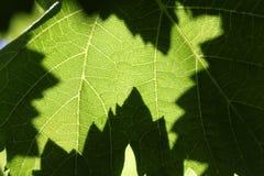 一片大藤叶子在流明被拍摄,以便您能看到它的结构 免版税库存照片