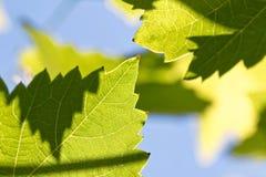 一片大藤叶子在流明被拍摄,以便您能看到它的结构 库存图片