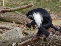 一片安哥拉疣猴立场和举行叶子 免版税图库摄影