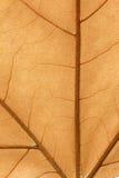 一片干燥叶子的宏指令在秋天的 库存图片