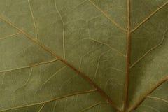 一片干燥叶子的细节 免版税图库摄影