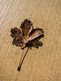 一片干燥叶子 免版税库存照片