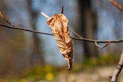 一片干秋天叶子在分支垂悬 库存照片