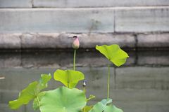 一片微小的莲花叶子,不被松开,缺乏地看上去在它针对性的技巧蜻蜓什么时候下来 库存图片