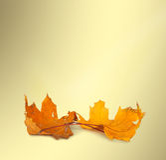 一片明亮的橙色枫叶 免版税图库摄影