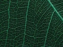 一片最基本的叶子的纹理或结构 图库摄影