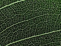 一片最基本的叶子的纹理或结构 免版税库存图片