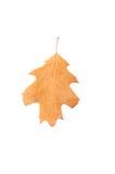 一片橡木干燥叶子 免版税库存图片