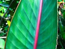一片热带叶子的静脉 免版税库存照片
