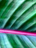 一片热带叶子的静脉 免版税图库摄影