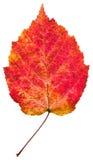 一片秋天红色白杨木叶子 库存图片