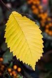 一片秋天黄色叶子用海鼠李莓果,黑暗的背景 在板料的选择聚焦 免版税库存图片