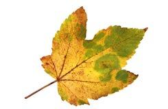 一片秋季枫叶的保险开关 库存照片