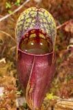 一片红色捕虫草叶子的特写镜头在新罕布什尔 免版税图库摄影