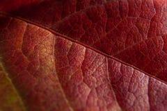 一片红色秋天叶子的纹理 免版税图库摄影