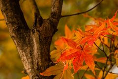 一片红色糖槭叶子的特写镜头 库存照片