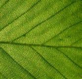 一片绿色叶子的纹理 免版税库存图片