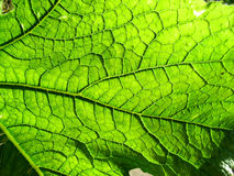 一片绿色叶子2的下面 免版税库存照片