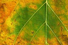 一片绿色和黄色叶子的纹理 库存图片