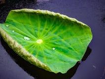 一片绿色莲花叶子 库存照片