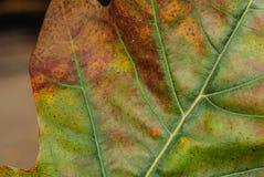 一片美丽的五颜六色的橡木叶子的特写镜头有主要和次要静脉的,绿色,红色和橙色颜色斑点  库存照片