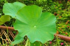 一片美丽的大绿色莲花稻叶子,上升上面豪华的泰国庭院公园` s其他有吸引力的植物群 库存图片