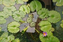 一片莲花作为背景的叶子用水和岩石的顶视图 免版税图库摄影