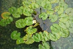 一片莲花作为背景的叶子用水和岩石的顶视图 库存照片