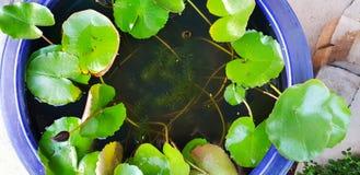 一片莲花作为背景的叶子用水和岩石的顶视图 库存图片