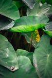 一片莲花叶子从其他引人注意在谷 免版税库存图片