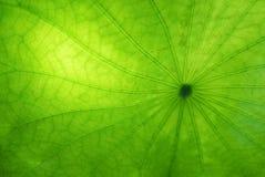 一片莲花叶子的特写镜头有背景照明设备的 免版税库存图片