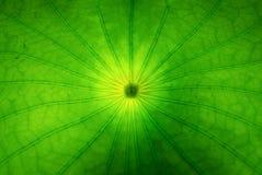 一片莲花叶子的特写镜头有背景照明设备的 库存照片