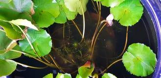 一片莲花叶子的顶视图用作为背景的水 免版税库存图片