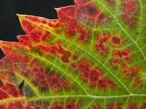 一片葡萄树叶子的特写镜头在红色和绿色的 图库摄影