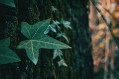 一片被隔绝的常春藤叶子的特写镜头 库存图片