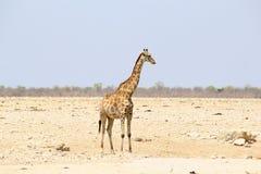 一片长颈鹿单独沙漠, Etosha,纳米比亚 图库摄影