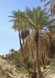 一片绿洲在撒哈拉大沙漠 免版税库存照片