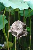 一片死的莲花叶子 免版税库存图片