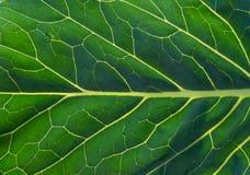 一片绿色叶子的特写镜头有静脉的 库存照片