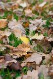 一片黄色叶子的看法聚焦了-在草的秋叶 图库摄影