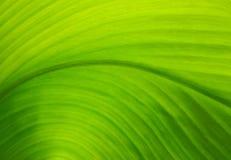 一片绿色叶子的纹理作为背景的 免版税库存照片