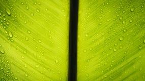 一片绿色叶子的纹理有水滴的。 免版税库存图片