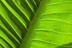 一片绿色叶子的纹理 库存图片