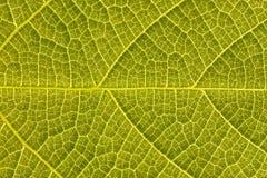 一片绿色叶子的纹理 图库摄影